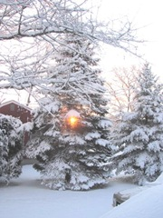snowstorm 1.20.2012 sun coming up thru spruce tree