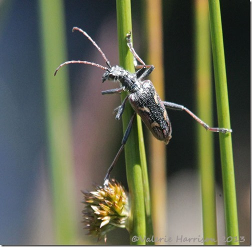 34-two-banded-longhorn