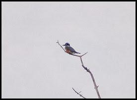00i - Animals - Kingfisher female