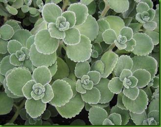 Menthol Plant1