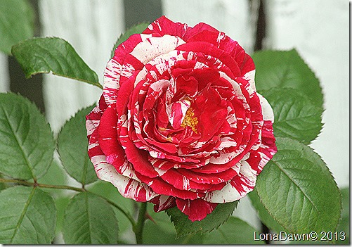Rose_Scentimental_Floribunda2