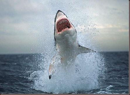Amazing Animals Pictures White Shark (9)