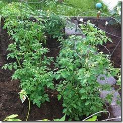 tomatoessidejune