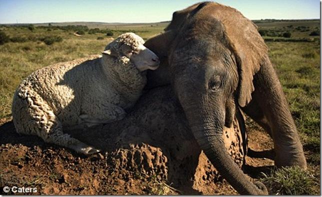 9 Hewan Berbeda Jenis yang Menjadi Sahabat Sejati_gajah-dan-domba