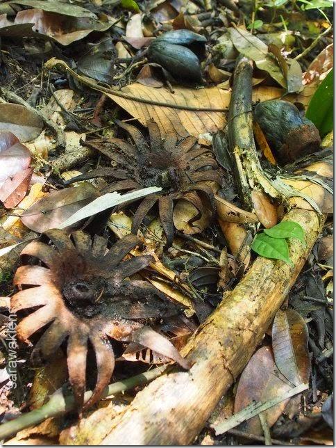 Rhizantes_Borneo_Sarawak_Malaysia_parasitic_plant