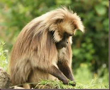 Amazing Pictures of Animals, photo Nature, exotic funny, incredibel Zoo, Theropithecus gelada, Primates, Alex (9)