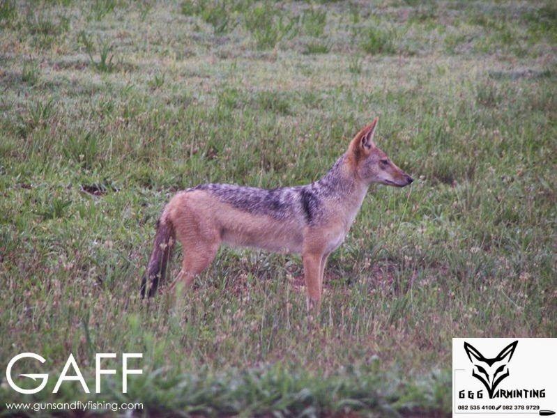 Jaracal-Caracal-Hunting (6).jpg