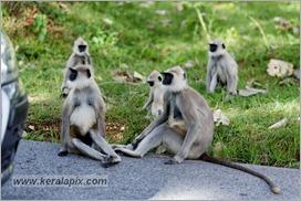 _P6A1674_grey_langur_monkey_mudumalai_bandipur_sanctuary