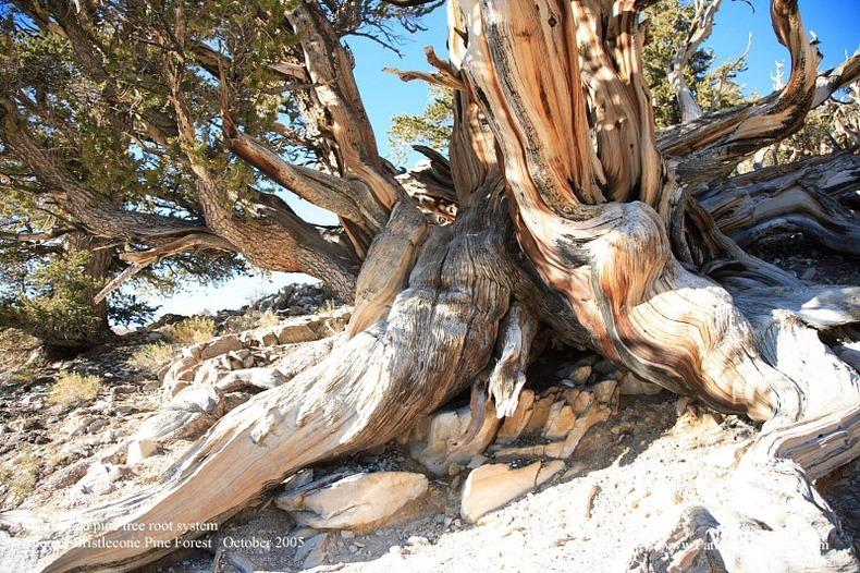 bristlecone-pines-11