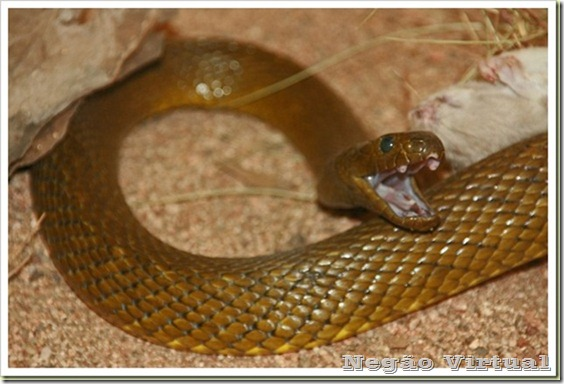 10-most-poisonous-animal-in-the-world-Inland-Taipan2