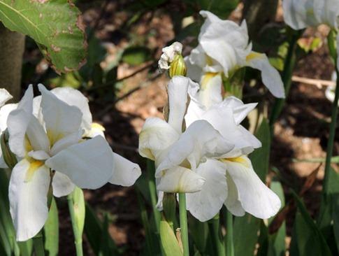 12 iris