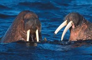 Amazing Pictures of Animals, photo, Nature, exotic, funny, incredibel, Zoo, Walrus,Odobenus rosmarus, Alex (7)