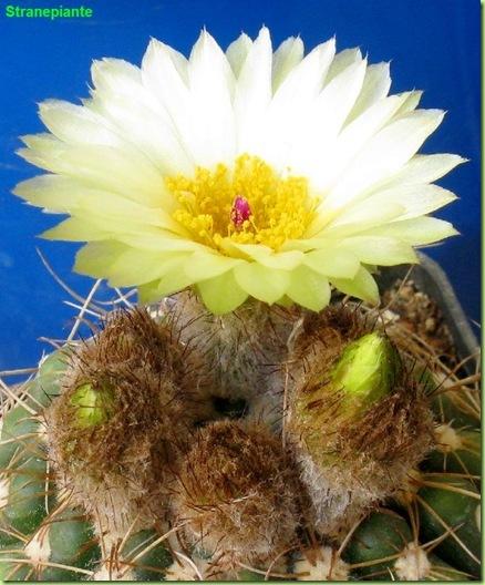 Parodia werneri fiore Sin Notocactus ubelmannianus