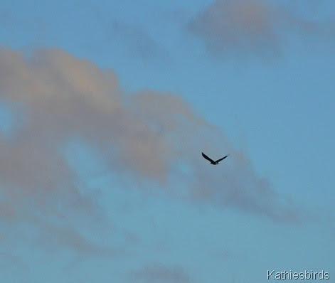 8. bald eagle-kab