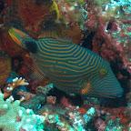 Drücker-Fisch, Komodo