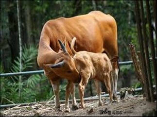 Amazing Pictures of Animals, photo, Nature, exotic, funny, incredibel, Zoo, Bos javanicus, banteng, Alex (8)