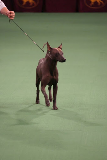 This year, there were six new breeds welcomed at Westminster, including Mexico's amazing hairless Xoloitzcuintli.