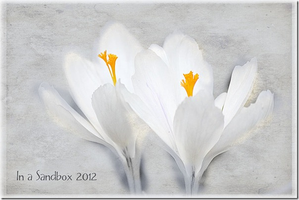 white crocus with textures for web