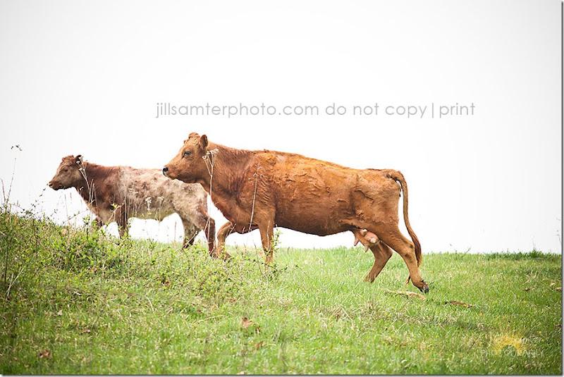 cows-5531