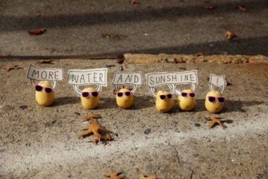 Batatas de Peter Pink 17