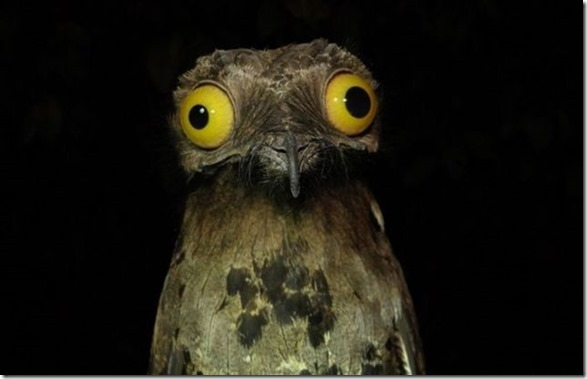 potoo-birds-eyes-3