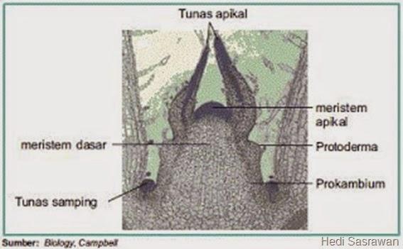gambar jaringan meristem