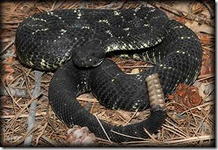 Arizona black rattle snake