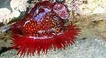 Manche Atlantique estran anémone fraise