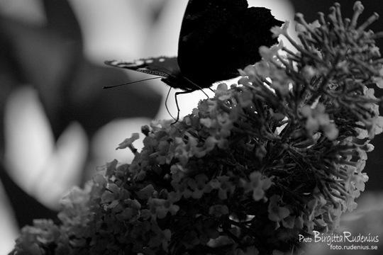 bw_20110802_butterfly