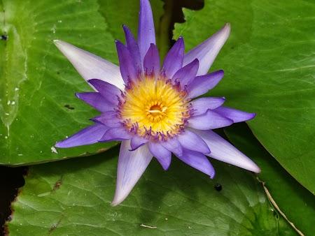 Luna de miere Thailanda: Lotus thailandez