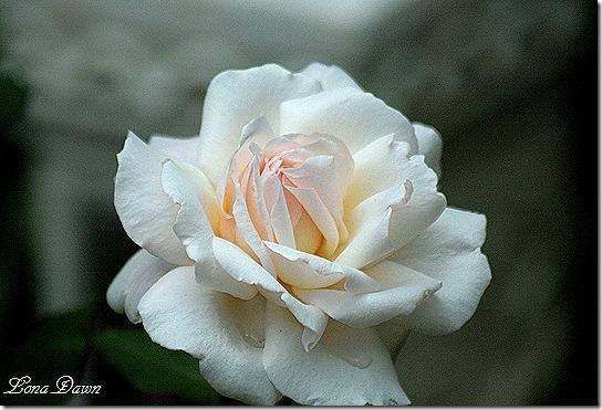 Rose_Gruss_An_Aachen5