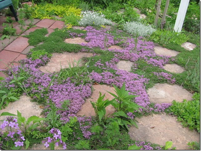 Bressingham thyme is one of the first ground cover to bloom.