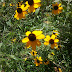 Rudbeckia triloba triloba - Photo (c) 117625618697965837369, some rights reserved (CC BY-NC-SA)