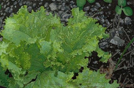 [lettuce%255B3%255D.jpg]