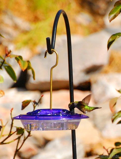 3. Anna's Hummingbird-kab