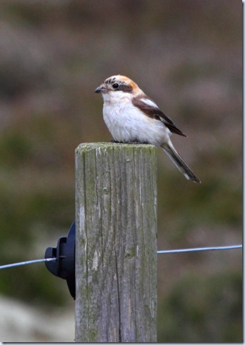 winterton_woodchat