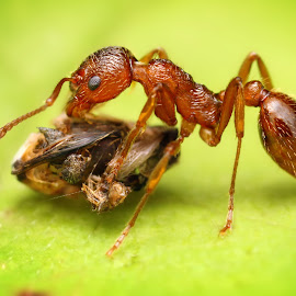 Lunch by Ondrej Pakan - Animals Insects & Spiders ( macro, fly, bug, ant, insect )