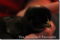 chicks 04