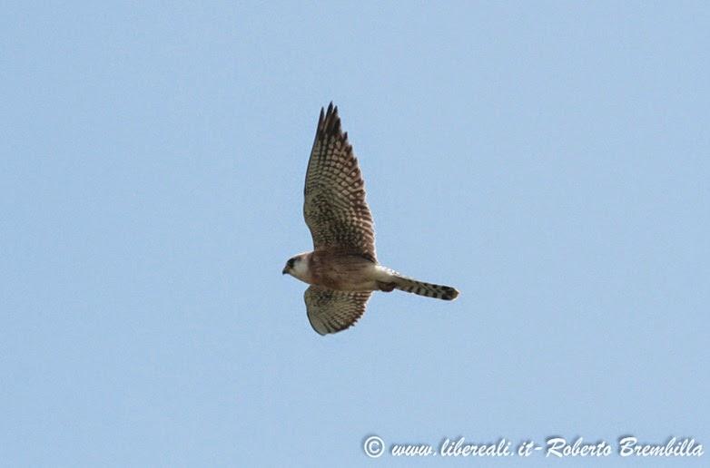 43-2014-05-20_Falco cuculo_Delta Po (26)