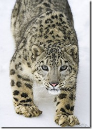 Snow Leopard watching intently from the down-side of a snowy hill - CA