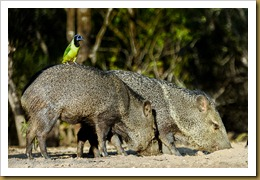 Green Jay on Back of Collared Peccary