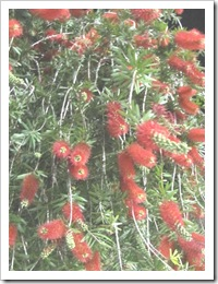 Florida vacation 3.12 red bottle brush plant