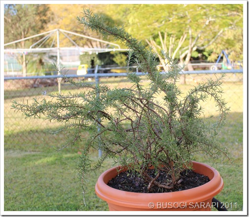 ROSEMARY PLANT© BUSOG! SARAP! 2011