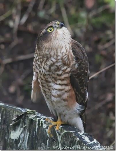 sparrowhawk-4