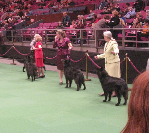 Belgian Sheepdogs in the ring