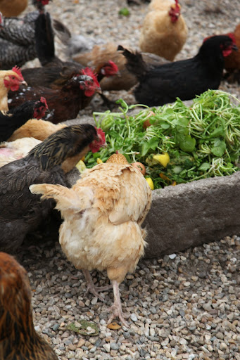 Our chickens love eating these scraps.  It helps them to lay really delicious eggs.