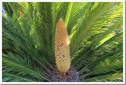 110731_Cycas_revoluta_male_cone_02