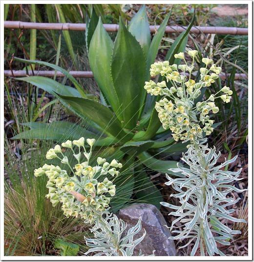 120406_Euphorbia-Glacier-Blue- -Agave-chiapensis