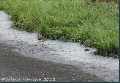 5-wagtail-and-pipit