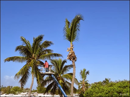 coconut palm trimming